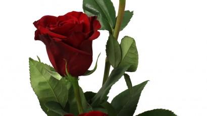 3425-Rose
