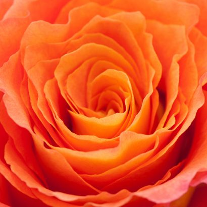Bicolor Orange Rose