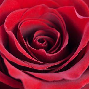 Rose CB Red Dz