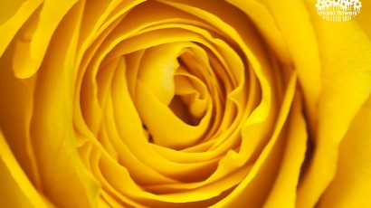 3425-Yellow Rose