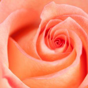 Bicolor Peach Rose
