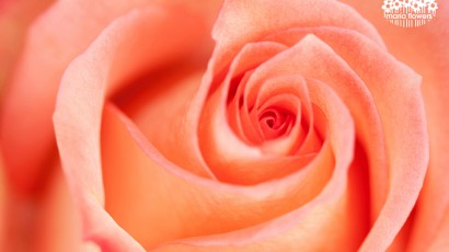 3425-Bicolor Peach Rose