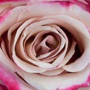 Bicolor Lavender Rose
