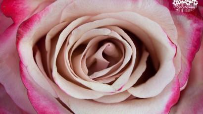 3425-Bicolor Lavender Rose
