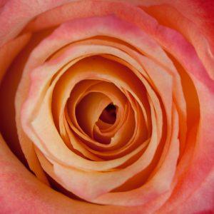 Bicolor Red Rose