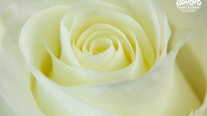 3425-Cream Rose
