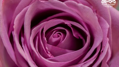 3425-Purple Rose