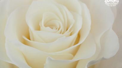 3425-White Rose
