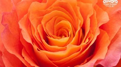 Bicolor Orange Rose